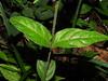 Photo:Chamaeranthemum tonduzii Lindau By