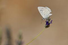 Spanish chalk-hill blue | Lysandra albicans