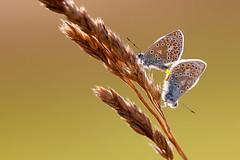 Puktörneblåvinge | Common Blue | Polyommatus icarus