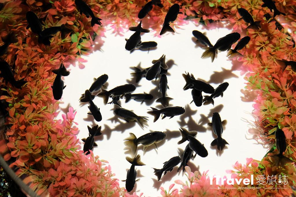 福岡展覽推薦 博多金魚の祭 (11)