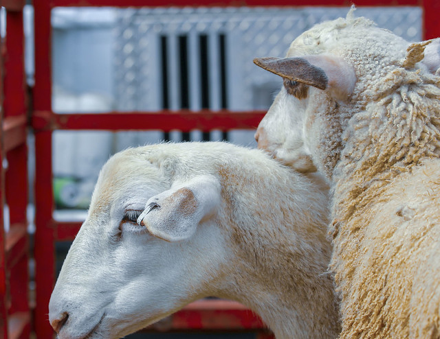 Farm Animals (2)