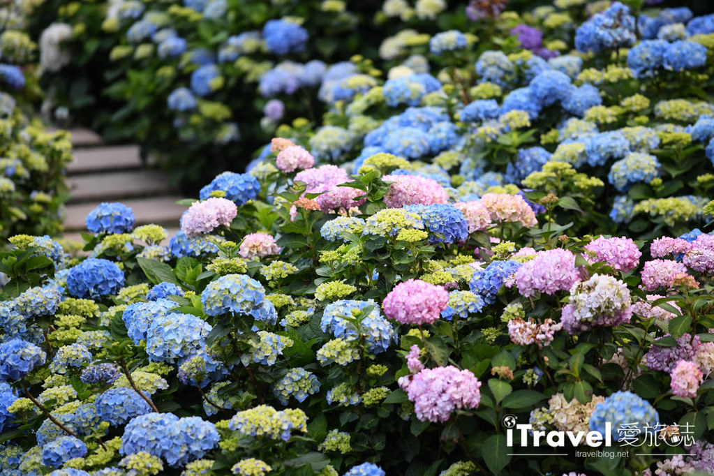 大梯田花卉生態農園 Taipei Hydrangea Terraced Fields (63)