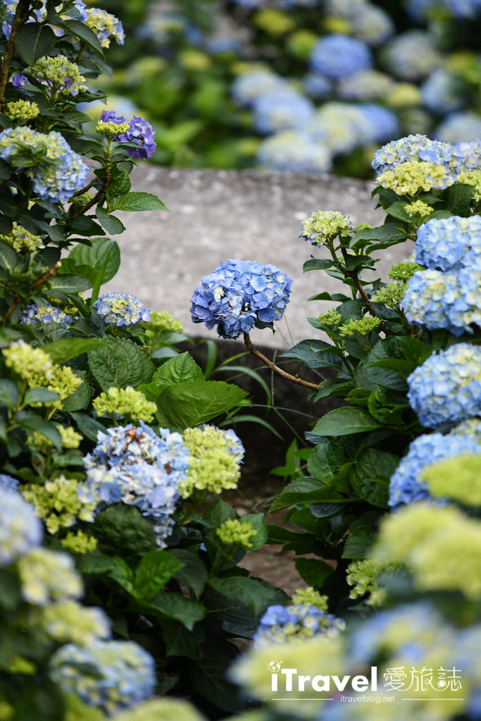 大梯田花卉生態農園 Taipei Hydrangea Terraced Fields (59)