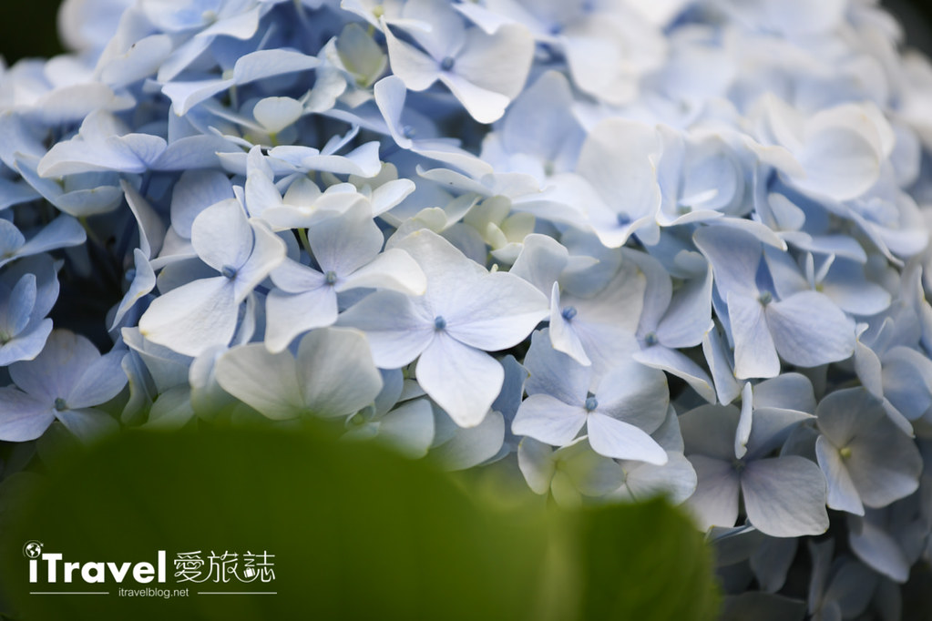 大梯田花卉生態農園 Taipei Hydrangea Terraced Fields (39)