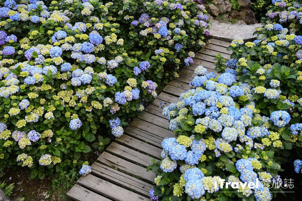 大梯田花卉生態農園 Taipei Hydrangea Terraced Fields (70)