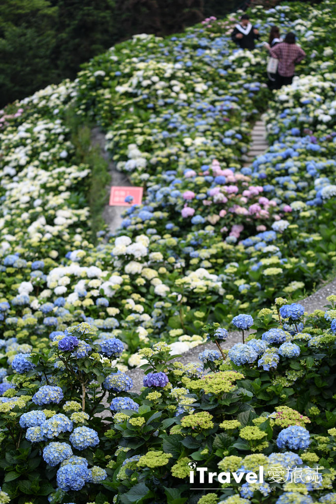 大梯田花卉生態農園 Taipei Hydrangea Terraced Fields (60)