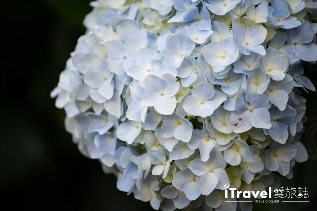 大梯田花卉生態農園 Taipei Hydrangea Terraced Fields (48)