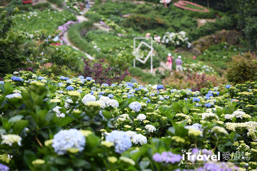 大梯田花卉生態農園 Taipei Hydrangea Terraced Fields (36)