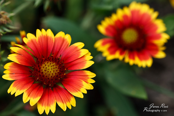 A pair of colorful gaillardia blossoms.