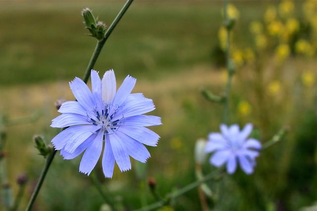 Fleurs bleues sauvages, Zangezur, Arménie