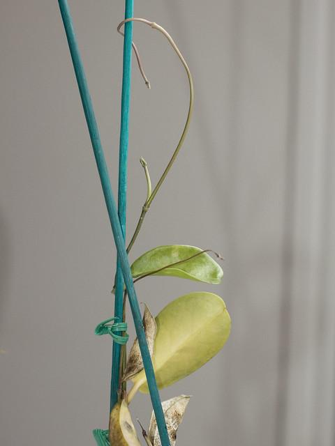 Hoya australis ssp. australis 'Brookfield'
