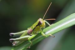 金沢自然公園のフキバッタ(Grasshopper, Kanazawa Nature Park)