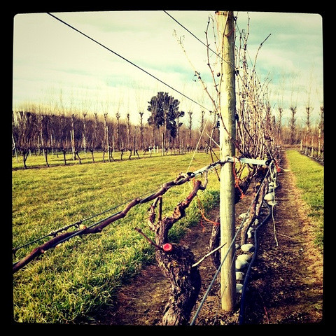 Pruned and Un-pruned Vines