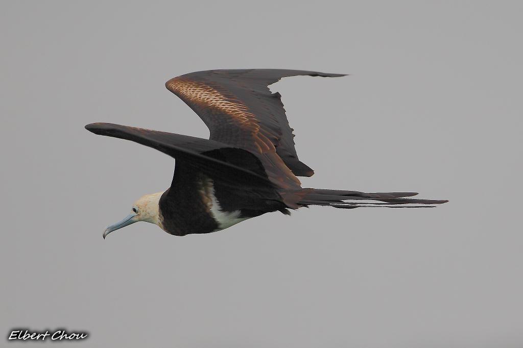 DCView 數位視野 - 作品發表區 - 御風翱翔 - 軍艦鳥