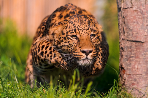 Pouncing leopard by Tambako the Jaguar