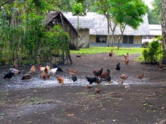 Chickens in the village