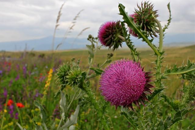 Fleurs roses sauvages, Zangezur, Arménie