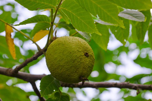 black walnut fruits � whatever