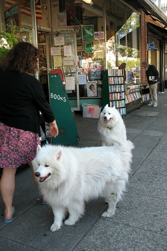 Two fluffy Samoyeds outside a bookstore