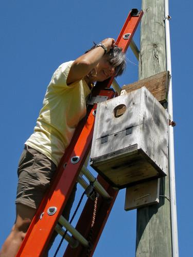 Pam Peeks into Kestrel Nest Box