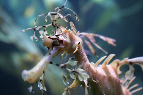 sea dragon close-up
