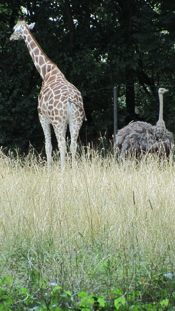 giraffe. ostrich. just hanging out together.