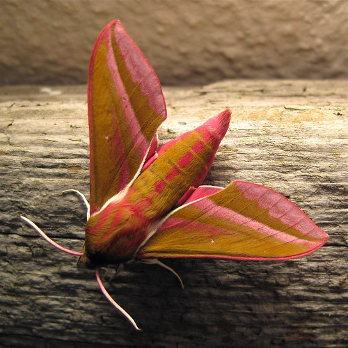 Elephant Hawkmoth - West St Leonards