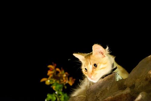 Gato noctámbulo