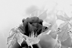 Negative Image Of A Cotton Flower
