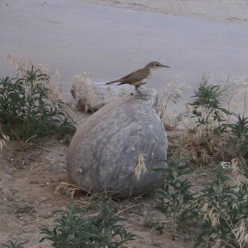 Rock Wren, Chaco Canyon, NM