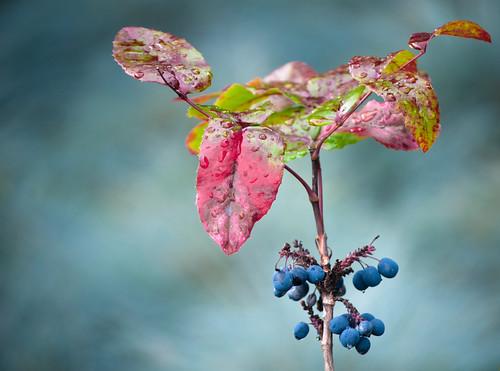 Oregon Grapes Blue Blend