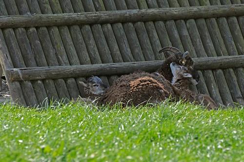 Soayschaf Claire mit ihren Lämmern Conrad und Cleo im Haustierpark Werdum
