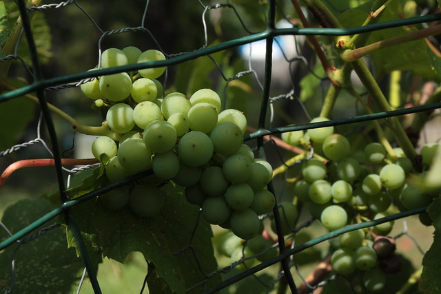 The Grapes continue to thrive