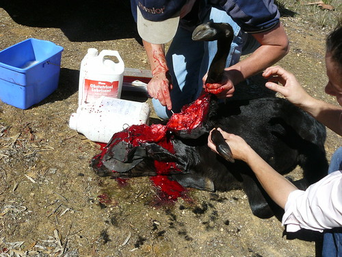 surgical removal of legs from head in calf