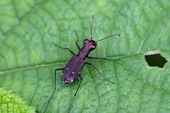 瀬上市民の森のトウキョウヒメハンミョウ(Tiger beetle, Segami Community Woods)