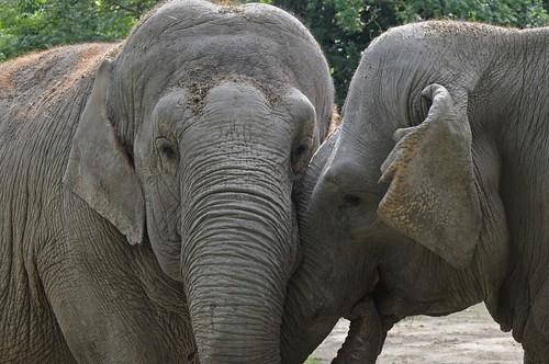 Asiatische Elefanten Jana und Praya im Zoo d'Amiens