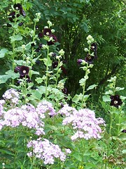phlox and hollyhocks