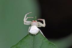 瀬上市民の森のガザミグモ(Spider, Segami Community Woods)