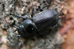 金沢自然公園のコクワガタ(Stag beetle, Kanazawa Nature Park)