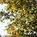 Sun shining through tree leaves
