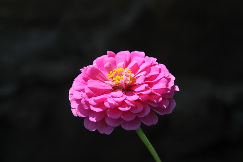 Zinnia by Jim, the Photographer, on Flickr