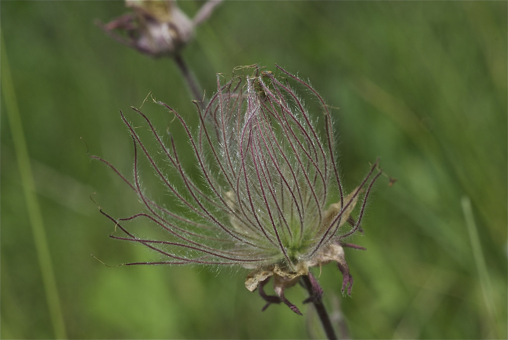 Prairie Smoke seed heads