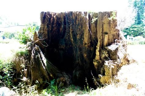 α4 The Giant Zelkova of Enshuu Temple