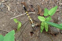 新治市民の森のオオシオカラトンボ♀(Dragonfly, Niiharu Community Woods, Yokohama, Japan)