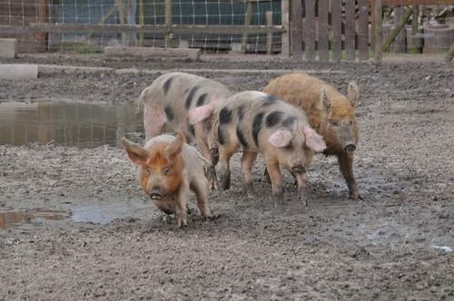Schweine im Haustierpark Werdum