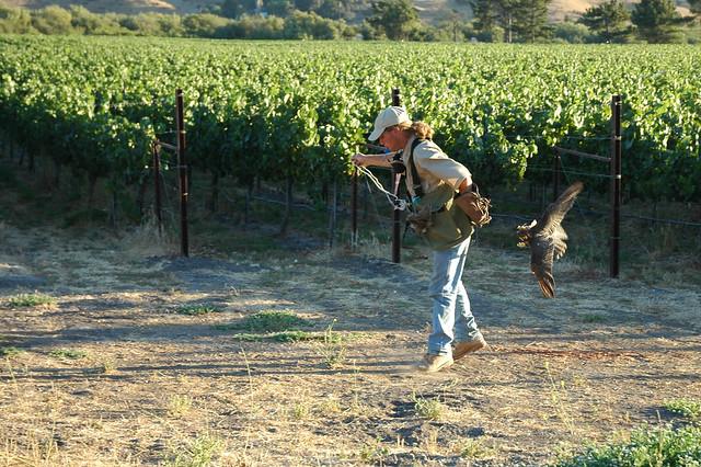 Tom flying Shirly on vineyard
