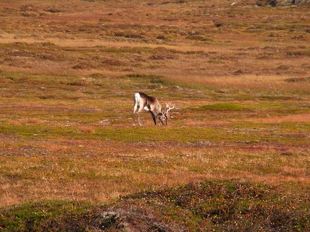 Varanger reindeer - 1