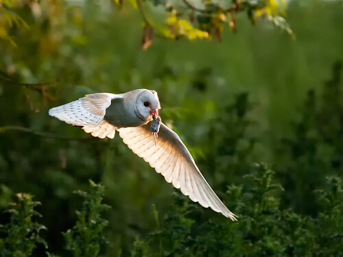 Barn Owl with vole_4