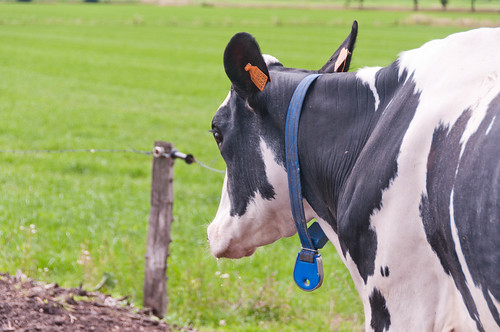 Droge koeien in de wei
