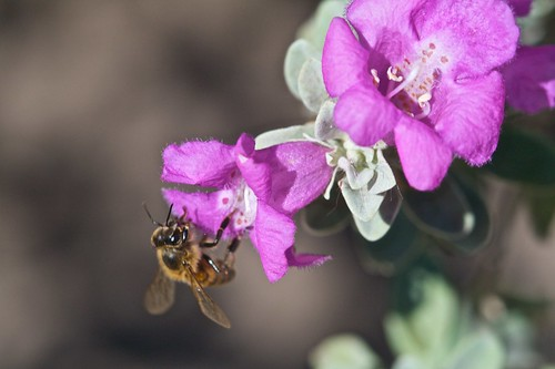 Bee on Texas Barometer Bush